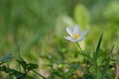 Ξύλινο nemorosa Anemone anemone λουλουδιών άνοιξη σε μια φύση Στοκ φωτογραφία με δικαίωμα ελεύθερης χρήσης