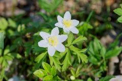 Ξύλινο nemorosa Anemone anemone λουλουδιών άνοιξη σε μια φύση Στοκ Εικόνες