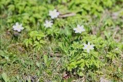 Ξύλινο nemorosa Anemone anemone λουλουδιών άνοιξη σε μια φύση Στοκ φωτογραφίες με δικαίωμα ελεύθερης χρήσης