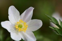 Ξύλινο nemorosa Anemone anemone Στοκ φωτογραφίες με δικαίωμα ελεύθερης χρήσης