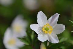 Ξύλινο nemorosa Anemone anemone Στοκ Εικόνα