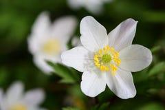 Ξύλινο nemorosa Anemone anemone Στοκ Φωτογραφία