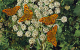Ξύλινο perlamutrovka πεταλούδων. Στοκ εικόνα με δικαίωμα ελεύθερης χρήσης