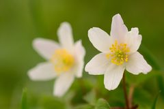 Ξύλο δύο anemones στην άνθιση Στοκ φωτογραφία με δικαίωμα ελεύθερης χρήσης