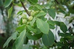 Ξύλο καρυδιάς ξύλινο νότιο σε πράσινο στοκ φωτογραφίες με δικαίωμα ελεύθερης χρήσης