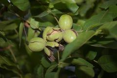 Ξύλο καρυδιάς στο δέντρο Συγκομιδή φθινοπώρου στο αγρόκτημα Οπωρώνας ξύλων καρυδιάς vegan Στοκ Φωτογραφίες