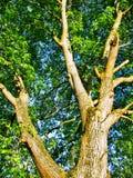 ξύλο καρυδιάς Στοκ Φωτογραφία