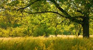 ξύλο καρυδιάς δέντρων Στοκ εικόνα με δικαίωμα ελεύθερης χρήσης