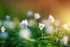 Ξύλο με τα λουλούδια άνοιξη Στοκ Εικόνα