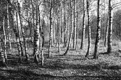 Ξύλο σημύδων μέχρι το φθινόπωρο Στοκ Φωτογραφία