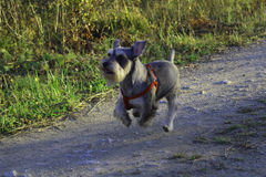 Ξύπνημα του σκυλιού μου Milo στοκ φωτογραφίες με δικαίωμα ελεύθερης χρήσης
