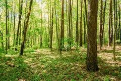 Ξύλα δέντρων θερινού σφενδάμνου άνοιξης Φως του ήλιου στο αποβαλλόμενο πράσινο δάσος Στοκ φωτογραφίες με δικαίωμα ελεύθερης χρήσης