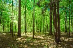 Ξύλα θερινών δέντρων άνοιξης Φως του ήλιου αποβαλλόμενο πράσινο σε δασικό, ηλιόλουστος Στοκ Φωτογραφία