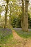 Ξύλα Bluebell στοκ εικόνες με δικαίωμα ελεύθερης χρήσης
