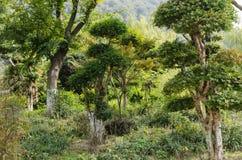 Ξύλα, Podocarpus Στοκ φωτογραφία με δικαίωμα ελεύθερης χρήσης