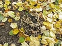 Ξύλινα μανιτάρια σε ένα κολόβωμα δέντρων Φθινόπωρο Στοκ Εικόνες