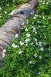 Ξύλινα λουλούδια anemone Στοκ Εικόνες