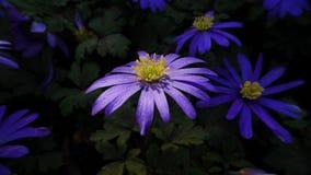 Ξύλινα λουλούδια Anenome Στοκ Εικόνα