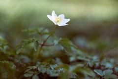 Ξύλινα anemone/nemorosa anemone Στοκ εικόνα με δικαίωμα ελεύθερης χρήσης
