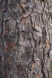 Ξύλινη εικόνα υποβάθρου σύστασης δέντρων φυσική Στοκ Εικόνες