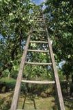 Ξύλινη σκάλα στο δέντρο aple Στοκ Φωτογραφία