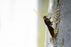 Ξύλινη σφήκα gigas Urocerus horntail Στοκ εικόνα με δικαίωμα ελεύθερης χρήσης