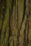 Ξύλινη σύσταση φλοιών του αειθαλούς δέντρου ειρηνικό redcedar Thuja Plicata Στοκ Εικόνα