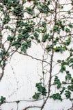 Ξύλινος πίνακας οι άσπρες εγκαταστάσεις κισσών τοίχων πράσινες στοκ φωτογραφία με δικαίωμα ελεύθερης χρήσης