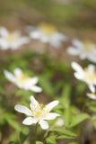 Ξύλινος στενός επάνω anemone (nemorosa Anemone) Στοκ φωτογραφία με δικαίωμα ελεύθερης χρήσης