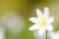 Ξύλινος στενός επάνω anemone (nemorosa Anemone) Στοκ εικόνες με δικαίωμα ελεύθερης χρήσης