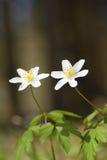 Ξύλινος στενός επάνω anemone (nemorosa Anemone) Στοκ Εικόνες