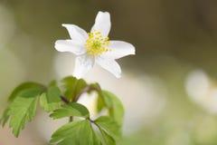 Ξύλινος στενός επάνω anemone (nemorosa Anemone) Στοκ φωτογραφίες με δικαίωμα ελεύθερης χρήσης