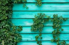 Ξύλινος τοίχος με τον κισσό Στοκ Εικόνα