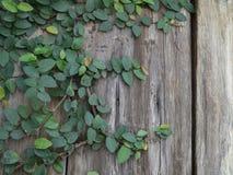 Ξύλινος τοίχος με τον κισσό Στοκ εικόνες με δικαίωμα ελεύθερης χρήσης