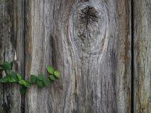 Ξύλινος τοίχος με τον κισσό Στοκ φωτογραφία με δικαίωμα ελεύθερης χρήσης