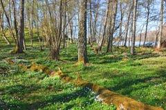 Ξύλινο δάσος anemone την άνοιξη Στοκ Εικόνα
