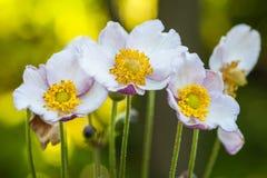 Ξύλινο άσπρο anemone λουλουδιών άνοιξη - nemorosa anemone ` κλείστε επάνω Στοκ εικόνα με δικαίωμα ελεύθερης χρήσης