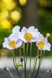 Ξύλινο άσπρο anemone λουλουδιών άνοιξη - nemorosa anemone ` κλείστε επάνω Στοκ φωτογραφία με δικαίωμα ελεύθερης χρήσης