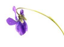 Ξύλινο βιολέτα ή odorata Viola που απομονώνεται στο άσπρο υπόβαθρο Στοκ εικόνες με δικαίωμα ελεύθερης χρήσης