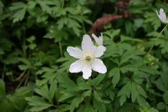 Ξύλινο λουλούδι anemone Στοκ Εικόνες