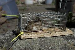 Ξύλινο ποντίκι στη ζωντανή παγίδα Στοκ Φωτογραφία