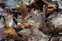 Ξύλινο ποντίκι (Apodemus Sylvaticus) Στοκ Εικόνες
