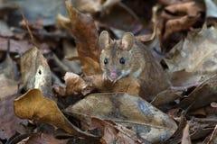 Ξύλινο ποντίκι (Apodemus Sylvaticus) Στοκ φωτογραφία με δικαίωμα ελεύθερης χρήσης