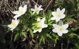 Ξύλινο πρώτο ελατήριο λουλουδιών anemone Στοκ εικόνα με δικαίωμα ελεύθερης χρήσης