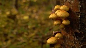 Ξύλινο υπόβαθρο με τα μανιτάρια aurivella Pholiota σε ένα δέντρο απόθεμα βίντεο