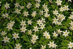 Ξύλινο υπόβαθρο anemones - nemorosa Anemone Στοκ φωτογραφία με δικαίωμα ελεύθερης χρήσης