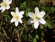 Ξύλινο anemone, άσπρο λουλούδι Στοκ εικόνα με δικαίωμα ελεύθερης χρήσης