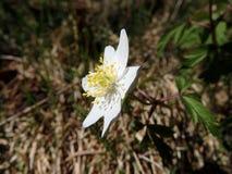 Ξύλινο anemone, άσπρο λουλούδι Στοκ Εικόνες