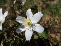 Ξύλινο anemone, άσπρο λουλούδι Στοκ Φωτογραφία