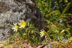 Ξύλινο anemone ή nemorosa Anemone Στοκ φωτογραφία με δικαίωμα ελεύθερης χρήσης